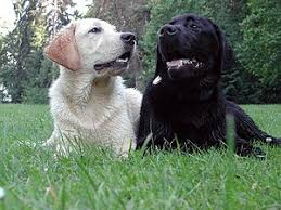 afghan hound and labrador retriever adventist youth honors answer book nature dogs wikibooks open
