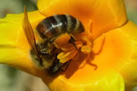 best winter annuals for bees the bee gardener anr blogs