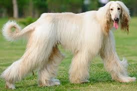 afghan hound least intelligent 10 least intelligent dog breeds in the world rating xəbərlər