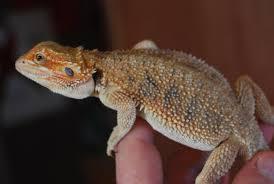 midlands female red u0026 female hypo citrus tiger bearded dragons
