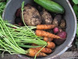 Green Root Vegetables - whiteley creek homestead root vegetable harvest