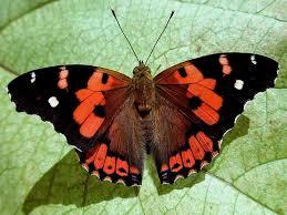 the kamehameha butterfly tameamea and