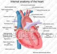 Anatomy Of Heart Valve Interior Anatomy Of The Heart Illustration Science Art Com