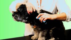 affenpinscher skin problems bendibrush will make grooming faster and easier u2013 top dog tips
