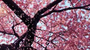 cherry blossom live wallpaper youtube