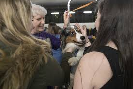 australian shepherd kennel club pooches primped and prized at the 141st westminster kennel club