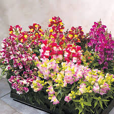 snapdragon flowers floral showers bicolor mix snapdragon seeds from park seed