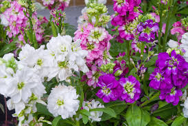 fragrant flowers fragrant flowers fragrance garden stock photos images plant