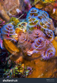 christmas tree worms curacao stock photo 248706538 shutterstock