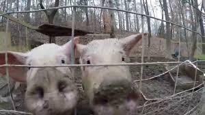pig pen maintenance pig farmer ben 3 youtube