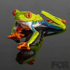 eyed tree frog for sale choice reptiles