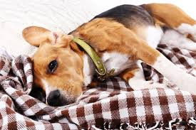 Causes Of Sudden Blindness In Dogs In The Chest In Dogs Symptoms Causes Diagnosis Treatment