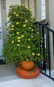 Climbing Plants That Flower All Year - 24 best vines for containers climbing plants for pots balcony