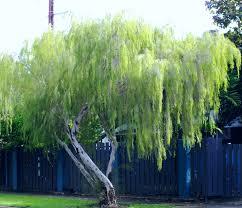 leptospermum maddium nt ti tree its attractive weeping