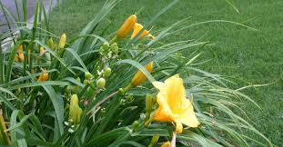 stella daylily daylilies bloom again hometalk