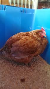 18 best chicken supplies on the arise images on pinterest