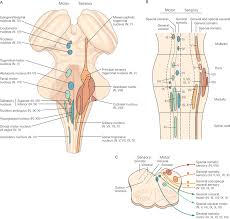 Visceral Somatic Reflex The Sensory Motor And Reflex Functions Of The Brain Stem
