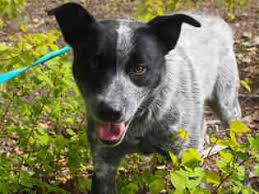 australian shepherd cattle dog mix view ad australian shepherd mix dog for adoption alaska