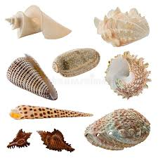 assorted seashells assorted seashells stock photo image of exoskeleton 37719150