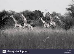 giraffe herd stock photos u0026 giraffe herd stock images alamy