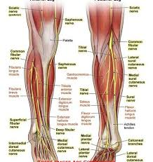 Nerves In The Knee Anatomy Anatomy U2013 Page 4 U2013 Anatomy Exhibits