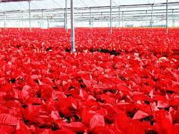 is home depot selling poinsettias on black friday the 99 cent poinsettia greenhouse grower