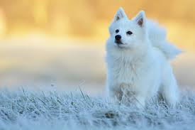 american eskimo dog what do they eat japanese spitz
