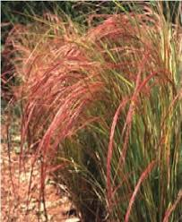 just seed ornamental grass bunny s tails lagurus ovatus 100