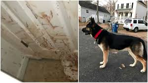 ohio german shepherd wins best in show prize at westminster fox8 com family comes home to blood splattered on floors walls after dog attacks intruder