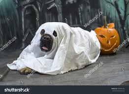 halloween dog wears sheet disguised ghost stock photo 159387476