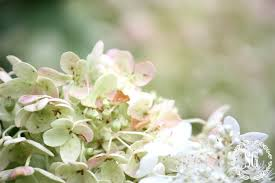 White Hydrangeas How To Keep Cut Hydrangeas From Wilting Stonegable