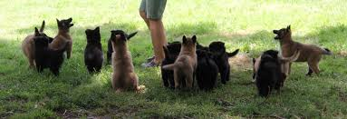 belgian sheepdog pups puppies