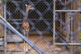 Zoo Lights Woodland Park Zoo by Woodland Park Zoo Selects Name For Baby Giraffe Komo