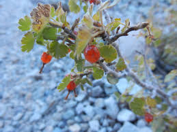 great basin native plants shrubs fizzynotions