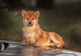 american eskimo dog for sale in kansas shiba inu puppies for sale akc puppyfinder