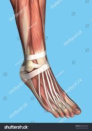 Foot Tendons Anatomy Anatomy Foot Featuring Extensor Digitorum Longus Stock