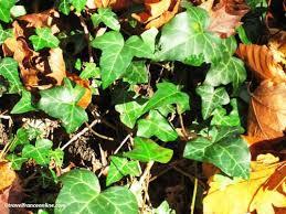 christmas plants christmas plants symbolism and origins