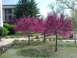 oklahoma redbud brightest flowers and shiny shaped leaves