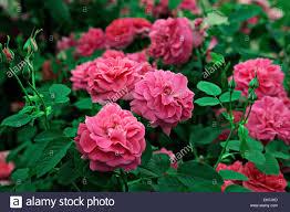 englands rose stock photos u0026 englands rose stock images alamy
