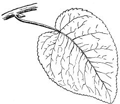 swamp cottonwood leaf clipart etc