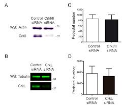 crk adaptors negatively regulate actin polymerization in pedestals