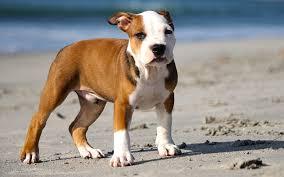 300 pitbull names puppy