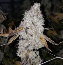 wedding cake genetics wedding cake jungle boys strain information strain reviews