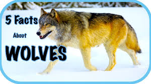 five facts about wolves wolf facts for