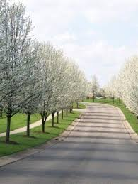 cleveland pear tree guide the tree center