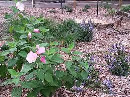 native missouri plants harriet a korfhage native plant garden u2014 department of biology