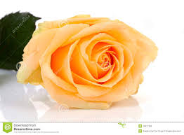 orange roses with water drops royalty free stock photos image