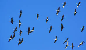 sandhill cranes flying overhead on a january day judy robinson