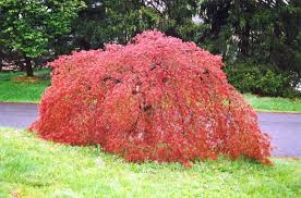 weeping japanese maple acer palmatum pendulum in columbus