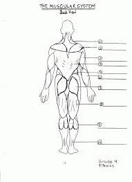 muscular system diagram blank anatomy organ